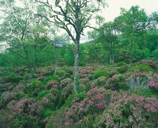 Heather, bilberries and birches
