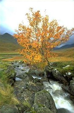 Lone rowan tree (Sorbus aucuparia) in autumn, beside the Allt Coire Ghaidheil stream, West Affric Estate, Glen Affric, Scotland.