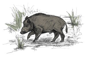 Drawing of a wild boar