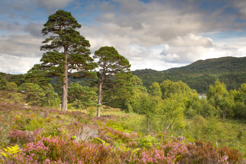 A grove of trees in the Scottish Highlands