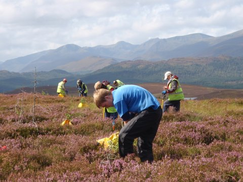 Volunteers planting young trees amongst the heather at Corrimony RSPB Reserve.
