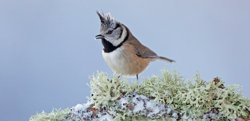 Crested tit | Trees for Life