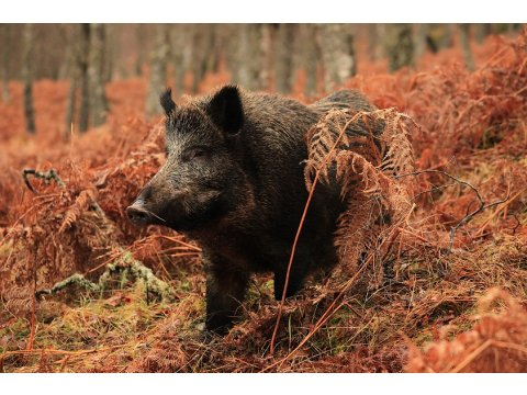 We have a resident herd of wild boar at Dundreggan, which volunteers can help to feed.