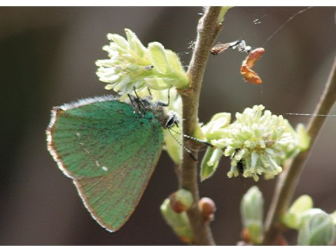 Green hairstreak butterfly (Callophrys rubi) feeding on the male flowers of an eared willow (Salix aurita) at Athnamulloch in Glen Affric.