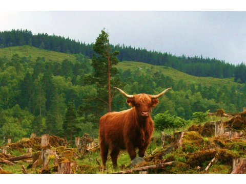 Glen Garry has a resident herd of Highland cattle that help with forest regeneration.