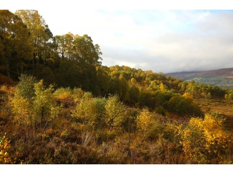 Naturally regenerated birches growing on a hillside at Corrimony.