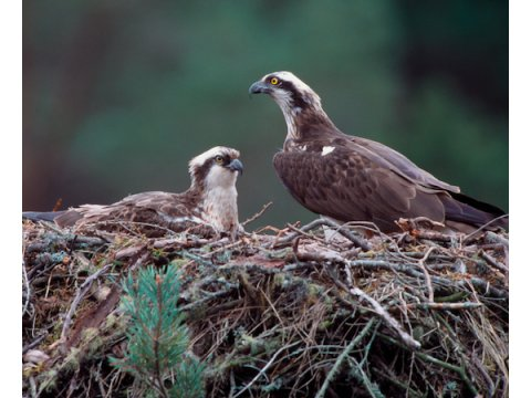 The Osprey | Trees for Life
