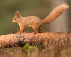 Red Squirrel Reintroduction Project