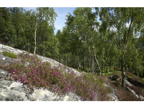 Dundreggan has beautiful birch woodlands near the Lodge, and some of the most extensive stands of juniper in the UK.