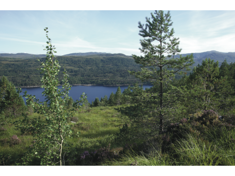 Aspen and Scots pines that we have planted at Glac Daraich flourishing with mature pine forest  in the background across Loch Beinn a Mheadhoin.