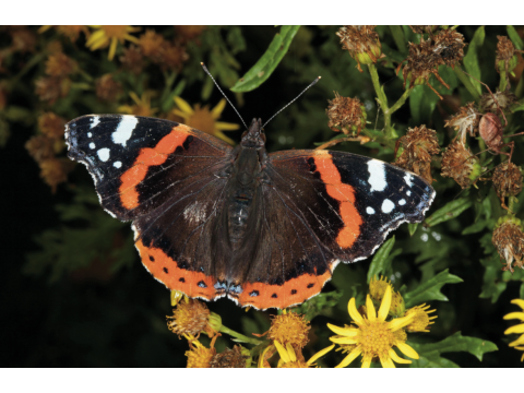 Red admiral butterfly (Vanessa atalanta) feeding on ragwort (Senecio jacobaea) on Dundreggan.