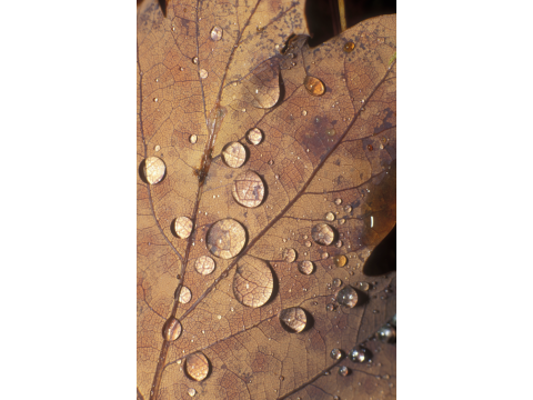 Raindrops on a fallen oak leaf (Quercus petraea), near Badger Falls in Glen Affric.