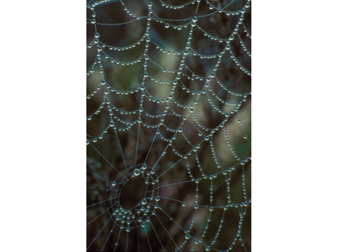 Raindrops on the web of an orb web spider (Araneus sp.) in Glen Affric.