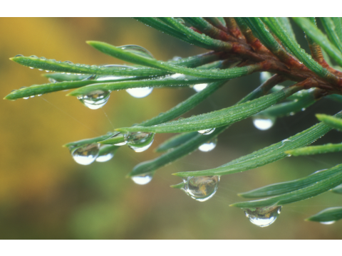 Raindrops on the needles of a Scots pine (Pinus sylvestris) in Glen Affric.