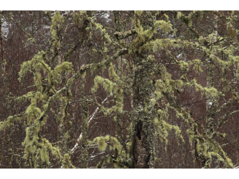 Beard lichen (Usnea filipendula) and other lichens on the branches of birch trees in the gorge of the Affric River in Glen Affric.