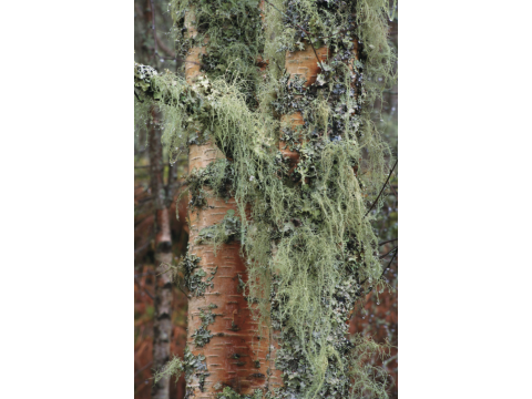 Beard lichen, heather rags lichen and ragged lichen on the trunks of silver birch trees (Betula pendula) near Dog Falls in Glen Affric.