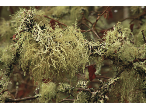Arboreal Lichens - The 'Leaves' of Winter