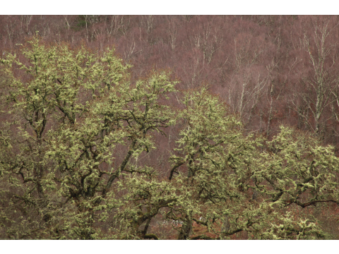 Lichen-covered branches of oak trees (Quercus petraea) on Dundreggan, with birch trees behind.