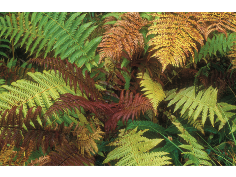 Fern fantasia! Golden-scaled male ferns, bracken and hard ferns in autumn in Glen Affric.