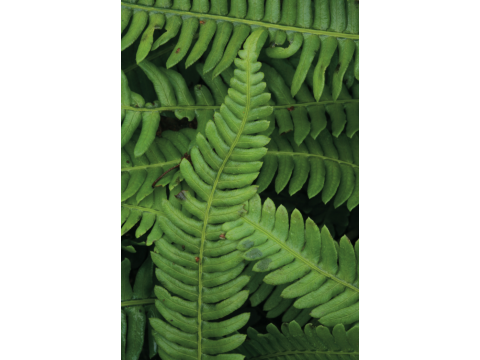 Frond detail of a hard fern (Blechnum spicant) - this species is evergreen.
