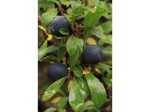 Sloe or blackthorn (Prunus spinosa) with fruits in late summer at Dundreggan.