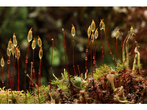Spore capsules of juniper haircap moss (Polytrichum juniperinum), with water droplets after rain, in the birch-juniper woodland at Dundreggan. Many moss species produce spore capsules like this, on raised stalks, to aid dispersal by the wind.