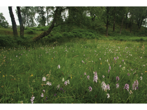 Orchid abundance! Prolific heath spotted-orchids (Dactylorhiza maculata) in a clearing in the birchwood on Dundreggan.