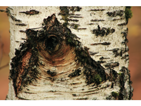 'Eye' pattern, where a branch used to be, on the trunk of a birch tree on Dundreggan.