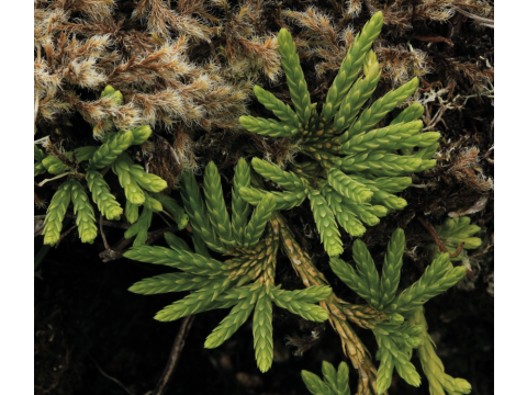 Growth pattern of alpine clubmoss (Diphasiastrum alpinum) on the high ground in the north of Dundreggan.