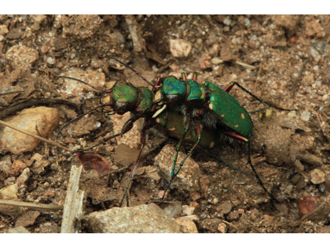 Green tiger beetles (Cicindela campestris) mating on Dundreggan. Most beetles mate facing in the same direction, with the male mounted on top of the female.