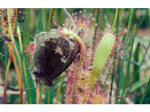 Sundews usually catch small insects such as midges and flies, but here this great sundew at Coille Ruigh in Glen Affric has caught a large heath butterfly (Coenonympha tullia).