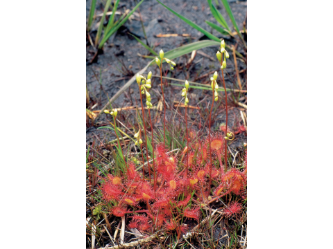 Round-leaved sundews (Drosera rotundifolia) with flower buds at Coille Ruigh in Glen Affric. The tall flower spikes are thought to make the flowers more visible to pollinating insects, which are of different species to those that fall prey to the sundews.