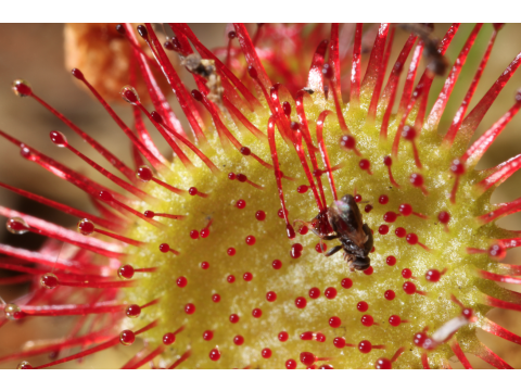 Sundews - Fatal Attraction for Insects!