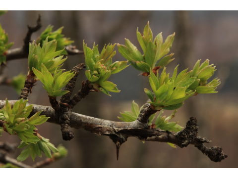 New leaves of a hawthorn (Crataegus monogyna) opening in spring on Dundreggan.