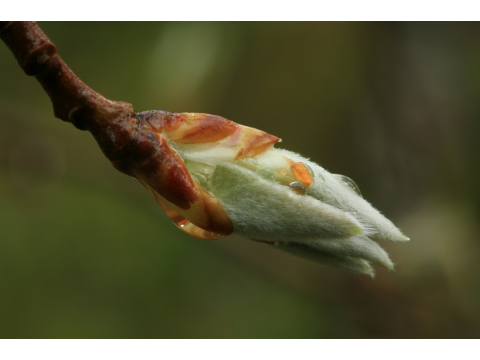The moment of release – new leaves of an aspen (Populus tremula) bursting from their bud in Glen Affric.