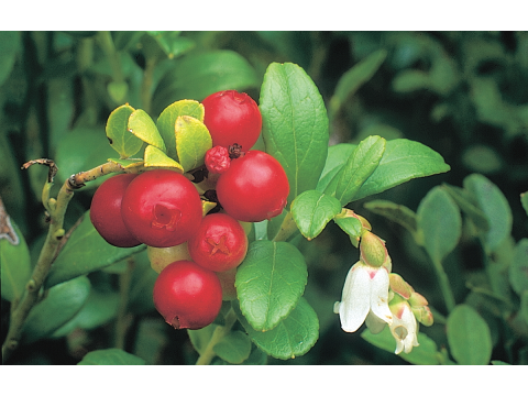 Cowberries (Vaccinium vitis-idaea) are evergreen, and their berries ripen to bright red in September, while a few late flowers will bloom even in October.