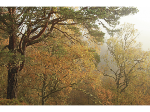 Scots pines (Pinus silvestris) and birches (Betula spp.) in autumn in early morning fog in Glen Affric.