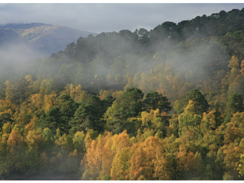 Early morning fog clearing over Scots pines (Pinus sylvestris) and birches (Betula spp.) on the north side of Loch Beinn a'Mheadhoin in Glen Affric in autumn.