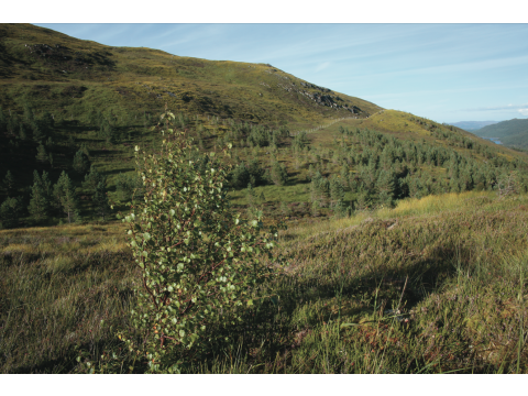 Naturally-regenerating birch and planted pines near the top of the Glac Daraich exclosure in August 2013.