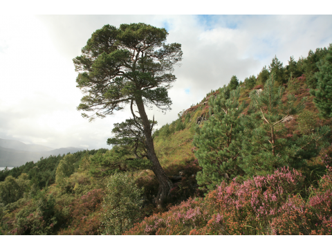 Planted pines, naturally regenerating birch and flourishing heather around a lone mature Scots in the Glac Daraich exclosure in August 2008.