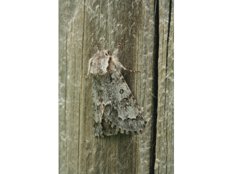 Light knot grass moth (Acronicta menyanthidis) on a fence post of the Allt Coire Ghaidheil exclosure in July 2008.