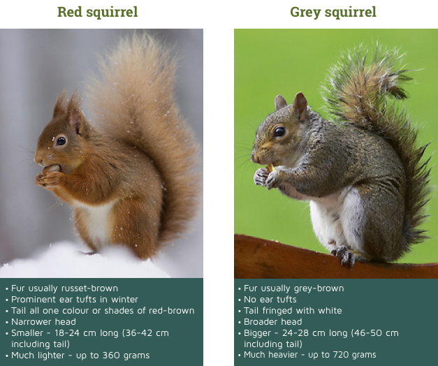 0531af906492 Both reds and greys have a white belly. Here s our simple ID guide to help  you decide if it s a red or a grey squirrel that you ve seen!