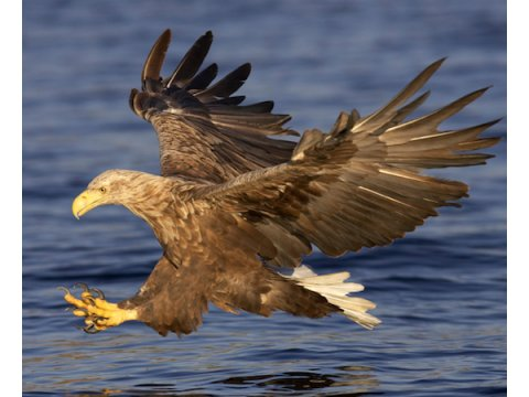 White-tailed eagle | Trees fro Life