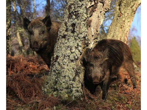 The Wild Boar | Trees for Life