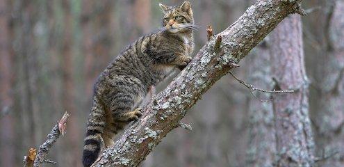 Résultats de recherche d'images pour «wild cat in forest»