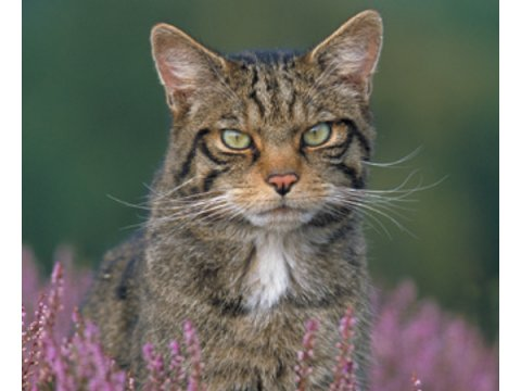 The Scottish Wildcat | Trees for Life