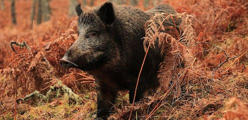 Wild boar | Trees for Life