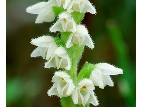 Creeping ladies tresses