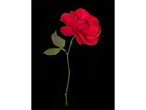 Phantom's Phorest Rose