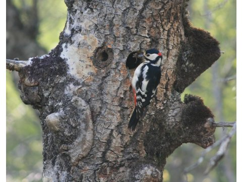 Male great spotted woodpecker (Dendrocopos major) at its nest hole in an aspen tree (Populus tremula) on Dundreggan.